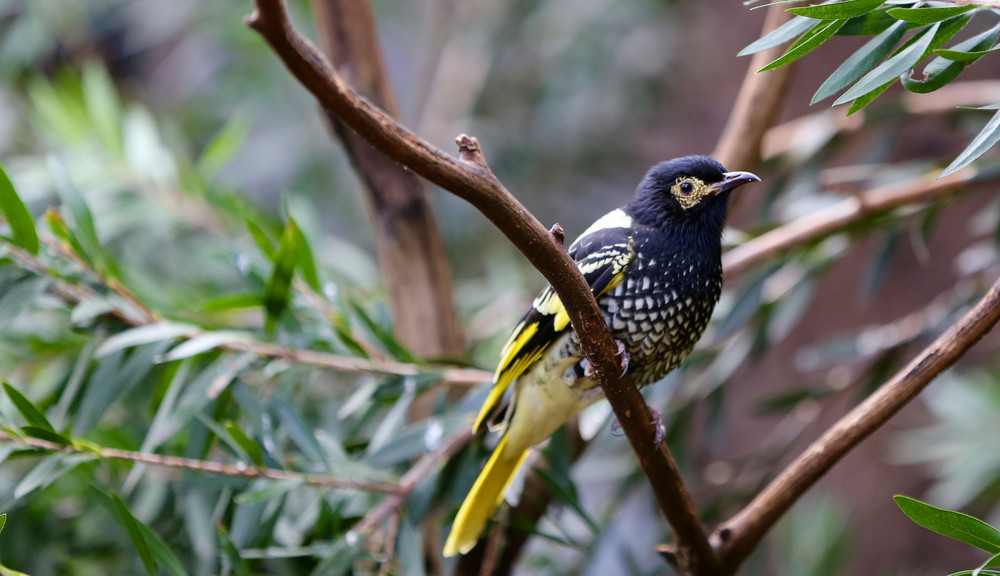 Regent Honeyeater sitting on a tree