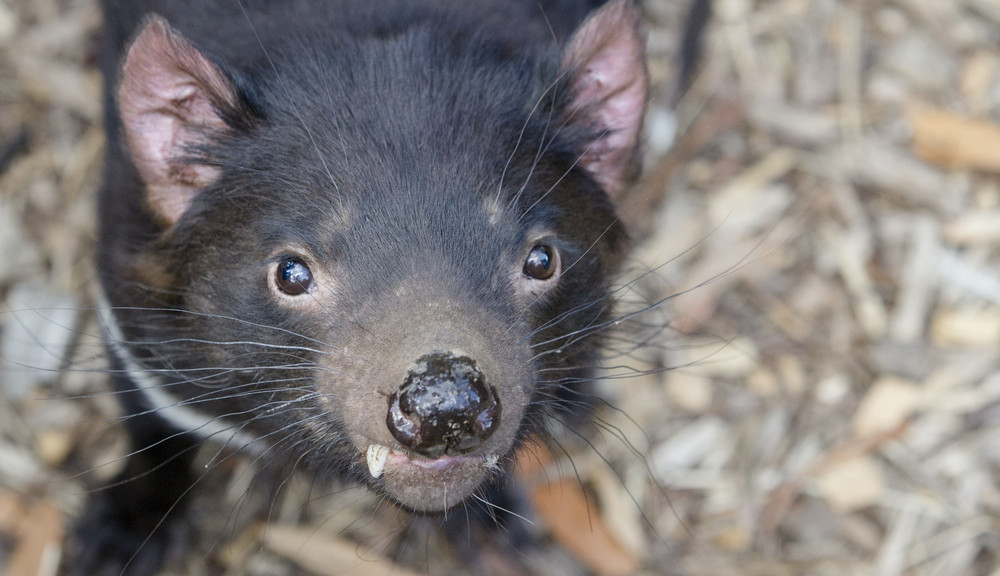 Tasmanian Devil face looking at camera