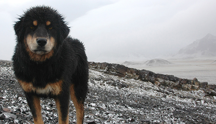 Mongolian Bankhar Dog standing in rock and snow field