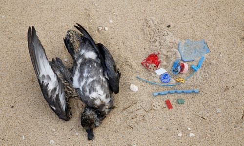 Balloon clips and plastic removed from a Flesh-footed Shearwater on Lord Howe Island. Source: Ian Hutton