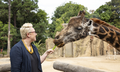 Woman feeding giraffe at Melbourne Zoo