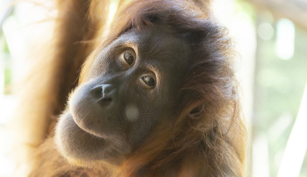 Orang-utan looking at camera