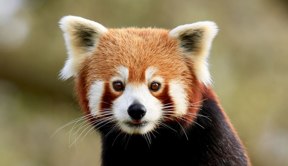 Red Panda looking at camera