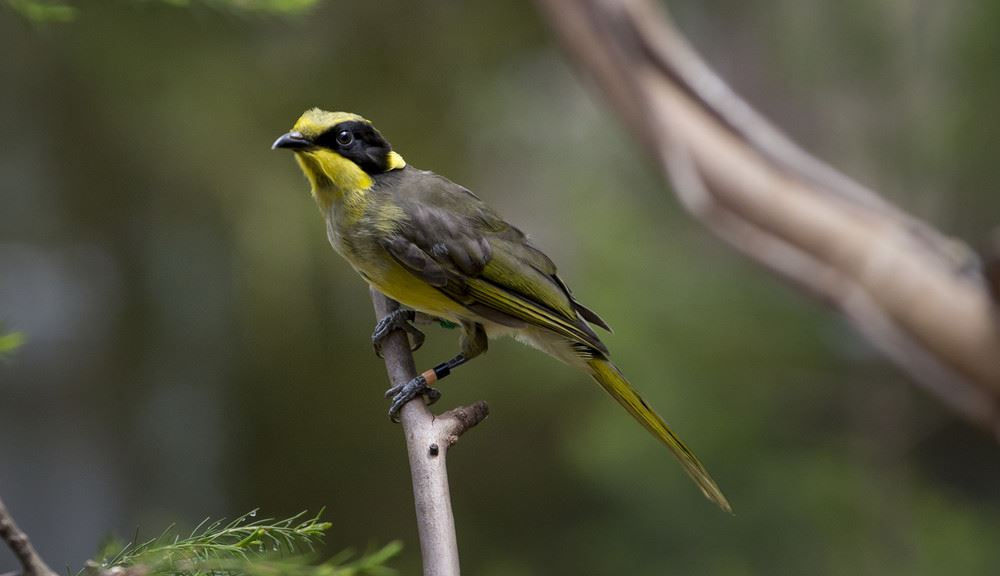 Helmeted Honeyeater sitting on branch