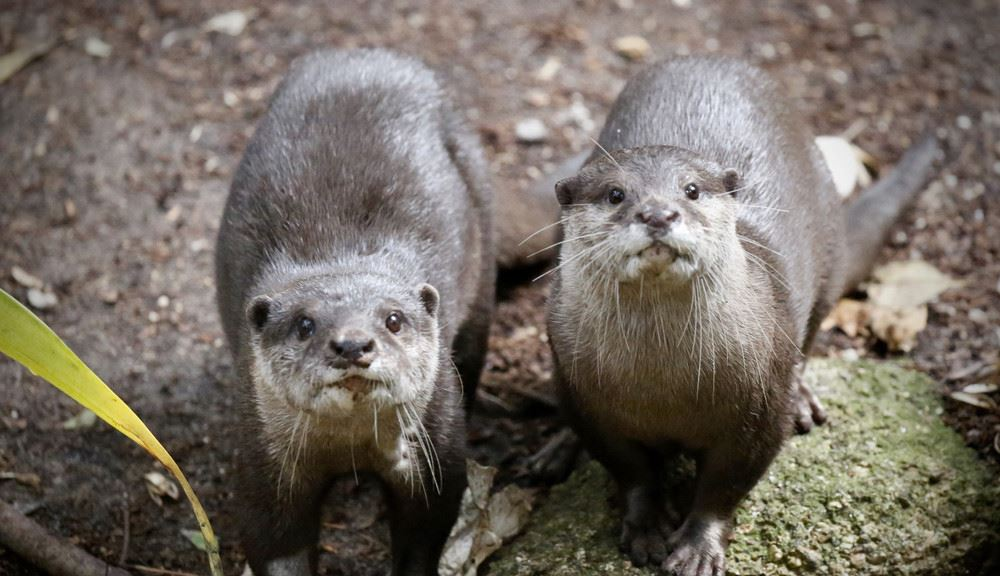 Two otters looking at camera standing on the ground