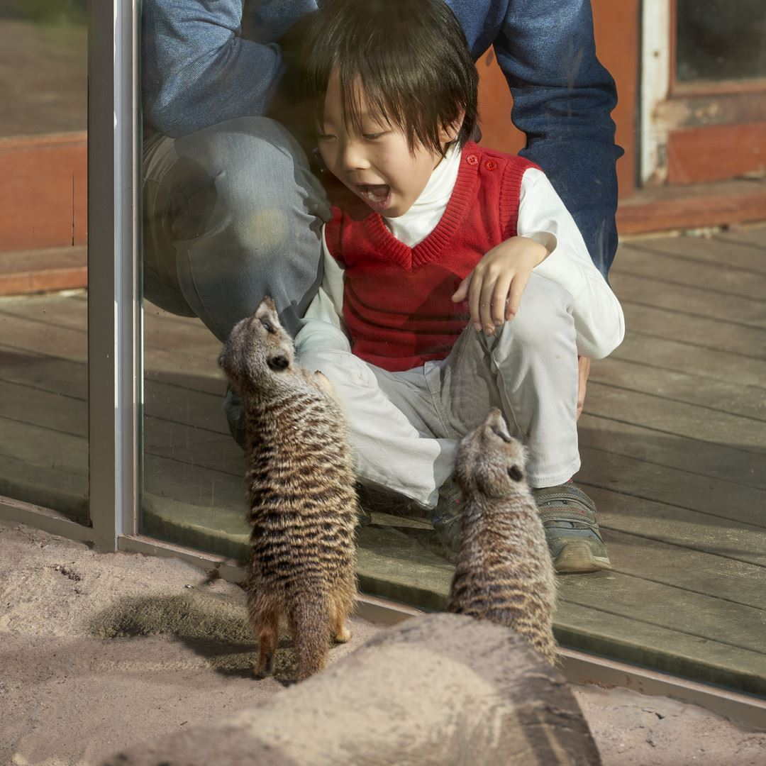 Small girl watching a meerkat while smiling