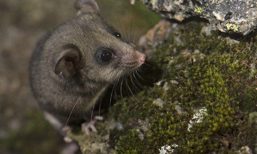 Mountain Pygmy-possum on a rock