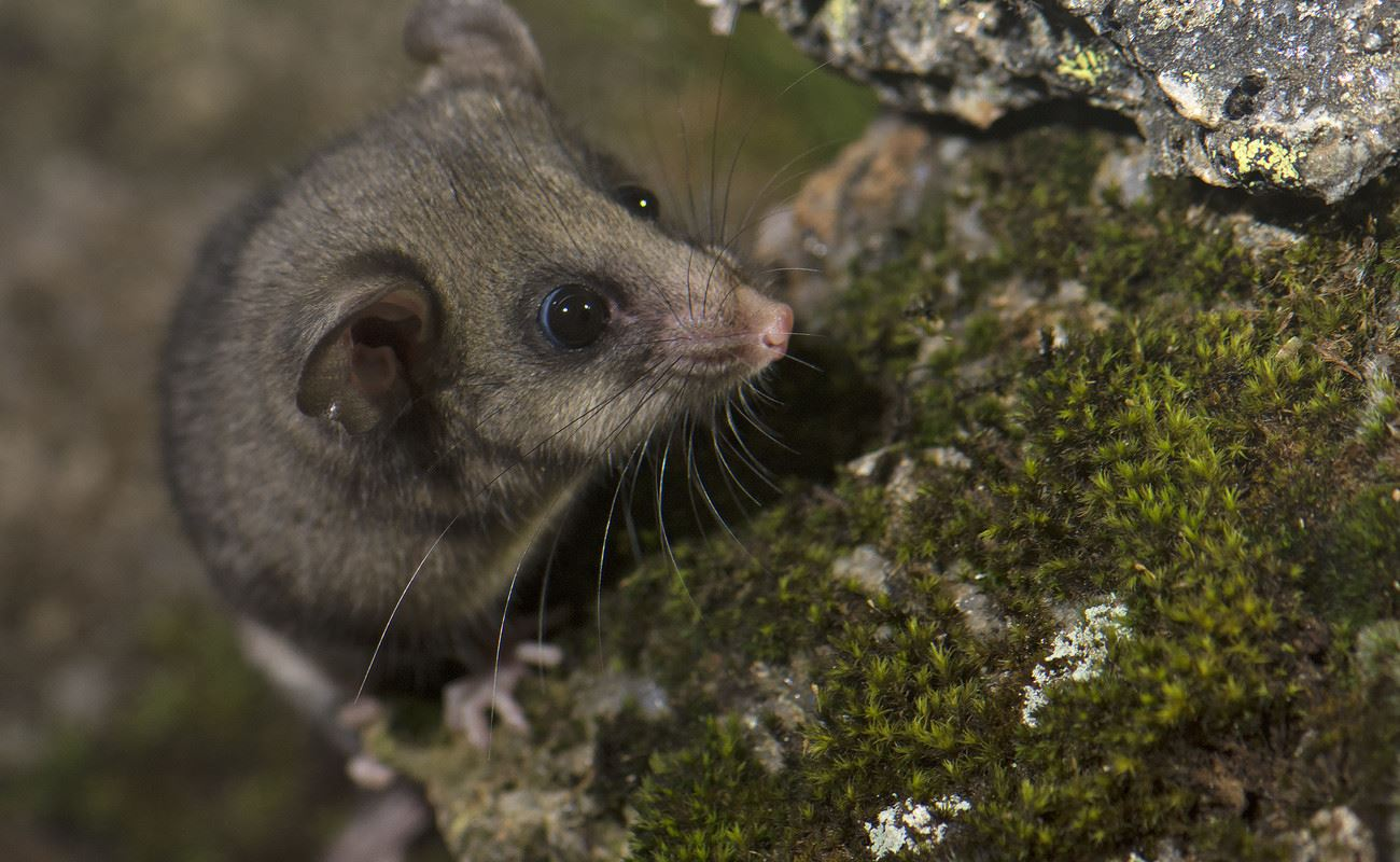 Mountain Pygmy Possum at Kosciuszko National Park (Credit - Tim Bawden)