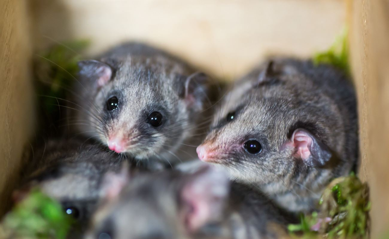 Mountain Pygmy Possums huddle together at Healesville Sanctuary