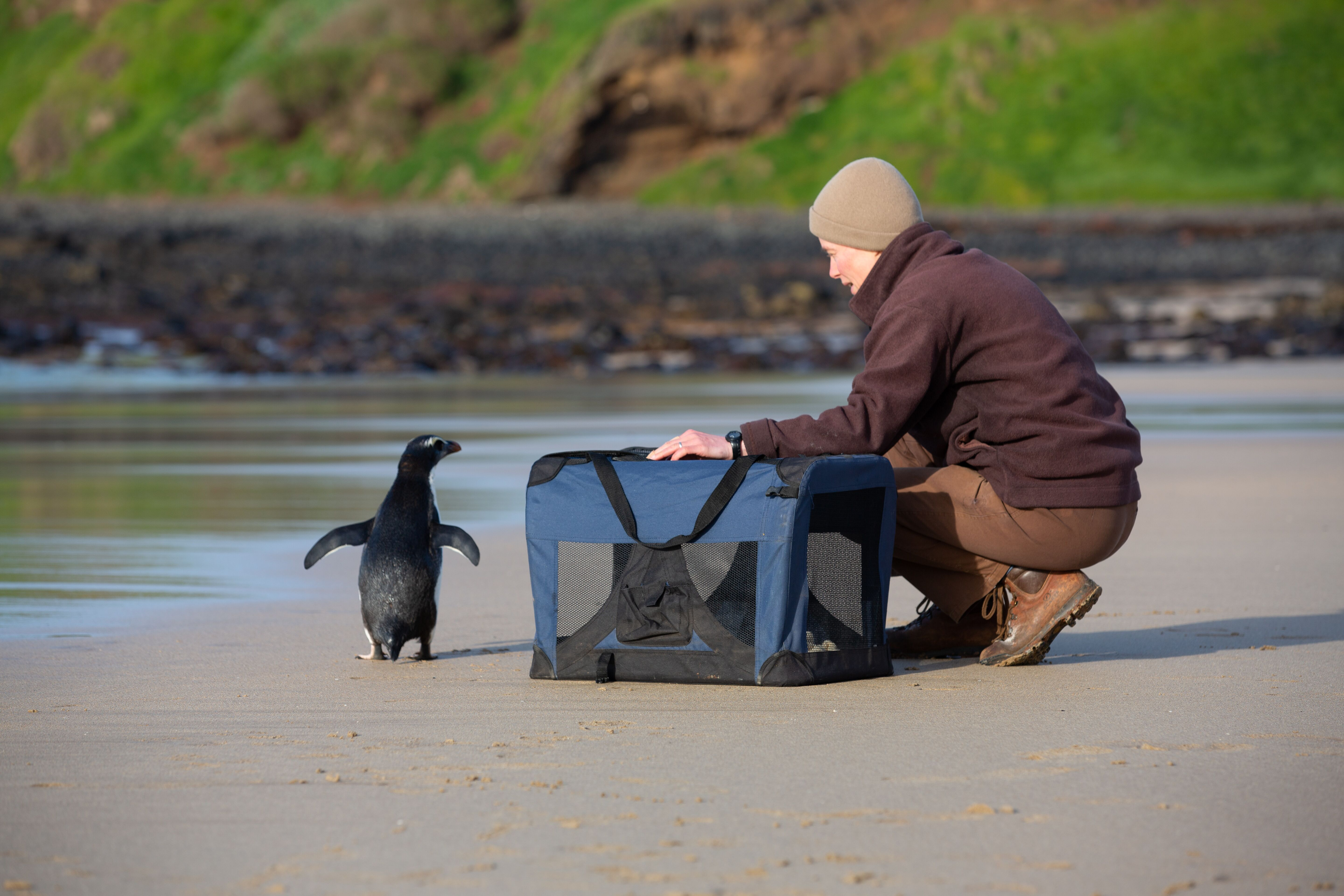 Fiordland Penguin is released (Credit - Phillip Island Nature Parks)