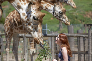 Woman looking up at a giraffe as it eats a branch from her hand