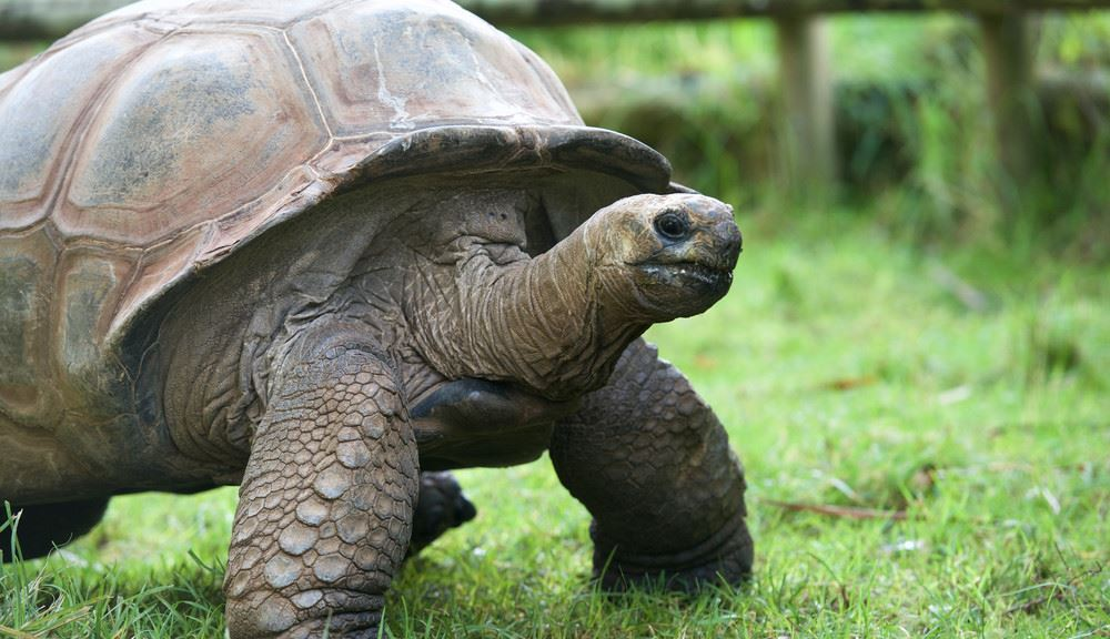 Giant Tortoise on grass