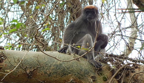 Tana Riber Red Colobus in a fig tree