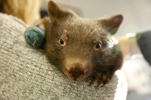 Baby wombat with hand in bandage