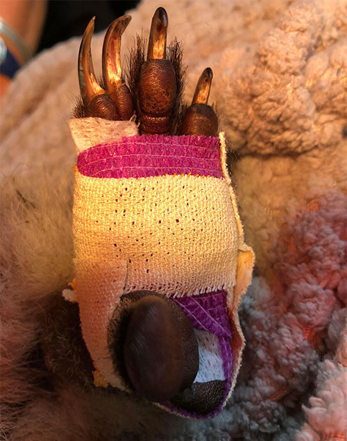 Close up of a koala paw, bandaged