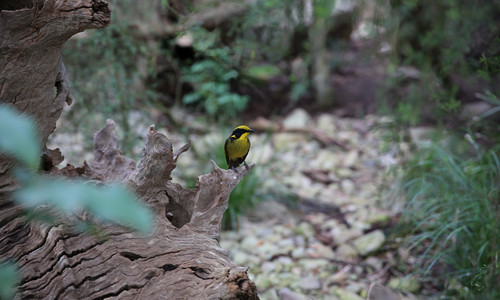 The Helmeted Honeyeater prefers riparian and swamp forest areas with Eucalypts and smaller understorey shrubs.