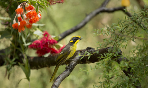 Helmeted Honeyeater numbers reached as low as 50 in 1990. Breeding programs and habitat work have increased these numbers to over 200.