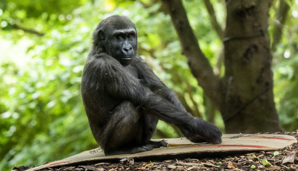 Gorilla sitting down looking at camera