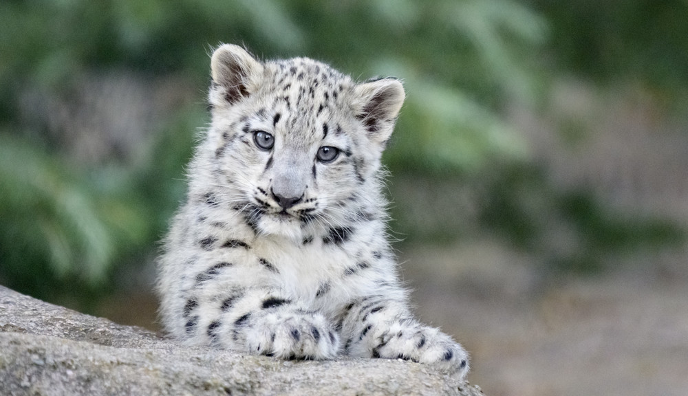 Snow Leopard cub looking at camera